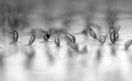 放大100倍的盘基网柄菌与蛞蝓