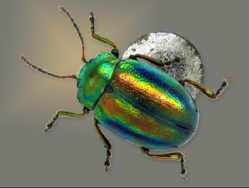 放大40倍的小叶甲虫